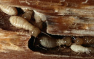 what kills termites